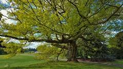 "Red Oak Tree...""Quecus Rubra"" USA (standhisround) Tags: trees tree nature outdoors garden gardens kewgardens kew london uk royalbotanicalgardens spring redoak oaktree oak usa quercusrubras"