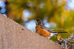 Saturated Robin 2 (Kenjis9965) Tags: canoneos7dmarkii 150600mmf563dgoshsm|c canon eos 7d mark ii sigma 150600mm f563 dg os hsm c contemporary birds wildlife tree saturated vibrant starling robin male sitting perching outside outdoors warm