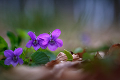 Veilchen (Petra Runge) Tags: veilchen viola blüten blumen flora natur wald frühlingsblüher frühling lila violet flowers spring wood purple nature schärfentiefe