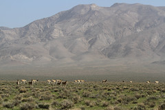 Asian Wild Donkeys (Wild Chroma) Tags: equus hemionus equushemionus donkey ass iran persia bahrame gur bahramegur bahramegoor goor mountains landscape