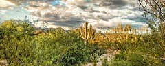 LIKE WATER IN THE DESERT IS WISDOM TO THE SOUL  ~Edward Counse (Irene2727) Tags: desert nature cactus cacti clouds flora fauna landscape scape panorama pano trees