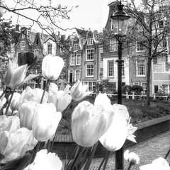 🌷🌷🌷 #tulips #photographyaks_bw #wanderlust #photooftheday #amsterdam #2015 #flowers (.Tatiana.) Tags: instagramapp square squareformat iphoneography uploaded:by=instagram lofi