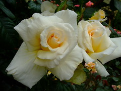 Rose (yewchan) Tags: rose roses rosa rosas flower flowers garden gardening blooms blossoms nature beauty beautiful colours colors flora vibrant lovely closeup