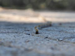 Pine processionary larvae marching (Nikos Karatolos) Tags: thessaloniki greece pine processionary larvae insect moth crawler crawling link thermi dam samyang 50mm f12 very shallow depth field