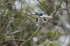 Tree Swallow (featherweight2009) Tags: treeswallow tachycinetabicolor swallows birds