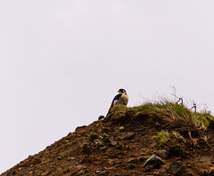 The Peregrine On The Cliff (sbisson) Tags: nest nesting peregrine raptor peregrinefalcon ciff clifftop yaquina yaquinahead newport oregon bird wildlife