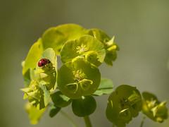 Solarium **--- ° (Titole) Tags: coccinelle ladybug ladybird titole nicolefaton euphorbe euphorbia yellow unanimouswinner thechallengefatory