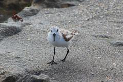 Intimidating Bird (jmaxtours) Tags: jupiter jupiterflorida florida floridausa fla usa blowingrockspreserve beach blowingrocks naturepreserve intimidatingbird bird wadingbird
