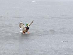 Mallard // Anas platyrhynchos (Jevgenijs Slihto) Tags: anasplatyrhynchos sonyhx300 sony bird birding duck wildduck mallard nature wildlife ice winter snow frozen