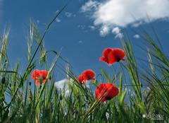 Red poppies on blue sky (olgaibáñez) Tags: red poppies blue sky amapolas rojo azul cielo primavera spring nature naturaleza soleado sunny