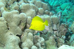 yellow as yellow can be (BarryFackler) Tags: zebrasomaflavescens yellowtang fish vertebrate lauipala zflavescens tang surgeonfish coralreef reef coral water pacific hawaii 2017 aquatic marine hawaiicounty polynesia saltwater nature tropical kona honaunau westhawaii outdoor konacoast southkona sea ocean bay life island pacificocean hawaiiisland honaunaubay sandwichislands barryfackler barronfackler bigisland ecology biology zoology ecosystem undersea underwater diving organism animal scuba seacreature sealife sealifecamera diver dive fauna hawaiidiving konadiving hawaiianislands marinebiology marineecosystem marinelife marineecology being bigislanddiving z