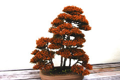 Bonsai, National Arboretum 127527 (thw05) Tags: art bonsai dc nature northamerica penjing people places thwilliamsphotography thomashwilliams thwphotoscom trees usnationalarboretum us usa washington tree plant
