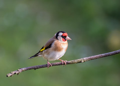 goldfinch (Emma Varley) Tags: goldfinch garden bird colourful plumage red gold black brown white westsussex
