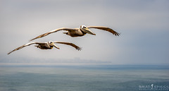 Cruising (ihikesandiego) Tags: torrey pines brown pelicans california wildlife