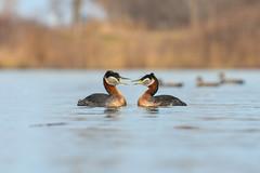 Couple Red Necks (Rob E Twoo) Tags: red grebe bird birds wildlife nature toronto ontario canada birding necked