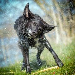 Keep cool 2 (Collin Key) Tags: wet dog animal freeze