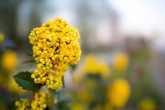 Spring is here! (Cortez_CRO) Tags: osijek croatia hrvatska fotograf photographer flower flowers cvijet cvijece detail bokeh sigma art ngc