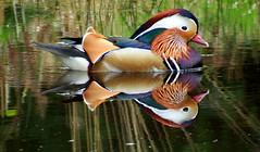 Mandarin Duck Aix galericulata (davidcawthraw) Tags: stovercp devon mandarinduck aixgalericulata