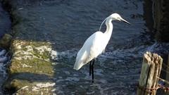 Aigrette Garzette  à la pêche (surlesailesdumonde) Tags: oiseau blanc marais aigrette garzette bec noir fantasticnature sweetfreedom