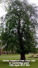 Horse Chestnut tree (Very tall) in Cambridge park 13th April 2017 002 (D@viD_2.011) Tags: horse chestnut tree very tall cambridge park 13th april 201