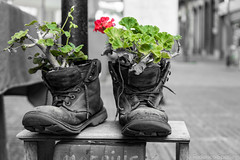 The life grow everyware (Feches) Tags: city ciudad montevideo uruguay plant planta flower flor flores flowers life botas boots borceguies monochromatic monocromatico red green rojo verde blackandwhite blackwhite bw byn zapatos shoes