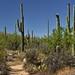 Walking a Trail Amongst the Saguaro Cactus (Saguaro National Park)