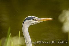 Grey heron  / Ardea cinerea. Taken at Nene Country Park. (I'll catch up with you later, your comments and cr) Tags: nenecountrypark nikkor200500mmf56eafsed nikond610fx rertug greyheron wildlifephotography birdphotography animal naturewatcher