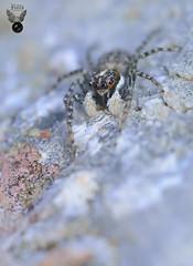 ARAÑA SALTARINA 03 (JuanMa-Zafra) Tags: araña arácnidos menemerus semilimbatus macro d7100 105mm reflector difusor flas sb800 zafra extremadura