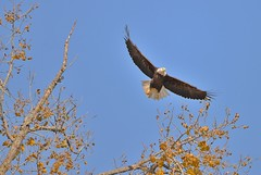 Bald Eagle in Flight (RWGrennan) Tags: bald eagle hudson river tree fall kayak flight fly wings nature bird rwgrennan nikon d610 150600 outside outdoors newyork ny nys upstate greene county coxsackie rgrennan ryan grennan wildlife wild birdofprey raptor