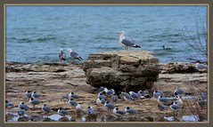 The Best View (imageClear) Tags: perch gull boulder bird herringgull wildlife northpoint birds sheboygan wisconsin aperture nikon d500 80400mm imageclear flickr photostream picmonkeycom