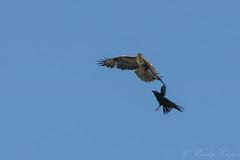 Buzzard crow-5231 (WendyCoops224) Tags: 100400mml 80d canon eos localbirdswildlife springwatch ©wendycooper buteo buzzard corvid crow dispute