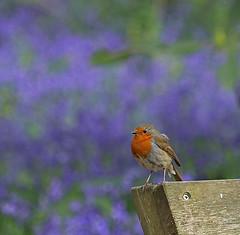 Robin and Bluebells (dramadiva1) Tags: robin bird nature wildlife bluebells flowers spring winkworth arboretum surrey