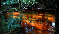Coloured WATERS (Lani Elliott) Tags: nature naturephotography creek water tanninwaters colour color colourful reflection reflections tannin forest ferns foliage light bright australia tasmania strahan
