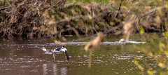 Goldeneye (Barry Folan) Tags: spey speyside birding birdwatching ducks goldeneye birdphotography pentaxk1 pentaxart scotland highlands nature naturephotography primeshots