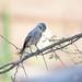 Grayish Flycatcher (Bradornis microrhynchus), adult