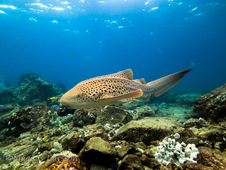 Leopard shark in the shallows