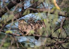 Spotted Owlet (Stewart M) Tags: 2017 india owl spottedowlet sultanpurnationalpark bird athenebrama