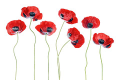 Ladybird Poppies (Mandy Disher) Tags: red poppy ladybird papaver summer flower floral flora highkey white