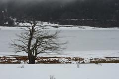 Vedo ovunque nella natura, ad esempio negli alberi, capacità d'espressione e, per così dire, un'anima. (Loredana Consoli) Tags: tree snow winterlandscape winter landscape sila lago lake lagoampollino calabria wind frozenlake fog