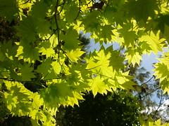 Gelbgrüner Ahorn (Jörg Paul Kaspari) Tags: trier pallien garten frühling spring april ahorn acer gelbgrün himmel sky
