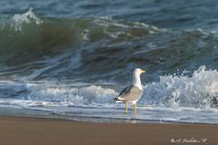 GABBIANO IN ATTESA    ----    GULL WAITING (cune1) Tags: italia italy lazio santasevera natura nature mare sea spiaggia beach uccello bird