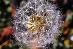 DSC_1086 (louisemccall53) Tags: nature dandelion white seeds spring macro nikon nikond3400