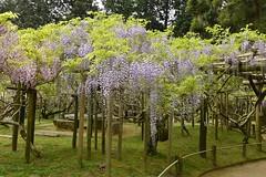 Wisteria (kenichirou.furukawa) Tags: ifttt 500px flowers spring color garden