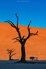 Dead camel thorn trees silhouette in Deadvlei (Jirawatfoto) Tags: namibia deadvlei sossusvlei dead africa park national camelthorn vlei red desert travel sand blue dune sky namib natural landscape tourism scenery famous african dry clay sunlight pan acacia beautiful trees namibnaukluft naukluft nature tree orange outdoor day arid