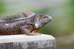 Wild Iguana (Johnnie Butters) Tags: iguana 800mm canon 400mm f28
