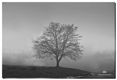 JANUARY 2017-020292-198 (Nick and Karen Munroe) Tags: fog foggy fogpatches icefog snow winter wintertrees january heartlakeconservationarea heartlake heavyfog densefog beauty brampton beautiful bw bandw blackandwhite blackwhite monochrome mono monotone weather weatherevent ontario outdoors canada nikon nickandkarenmunroe nickmunroe nature nickandkaren nikond750 nikon2470f28 karenick23 karenick karenandnickmunroe karenmunroe karenandnick munroedesignsphotography munroedesigns munroephotography munroe trees tree wintry