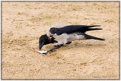 Neugier (Roland Knechtel) Tags: vogel nebelkrähe rabenvögel singvögel rabenvogel singvogel querformat farbig germany deutschland stock roland knechtel neugier untersuchen