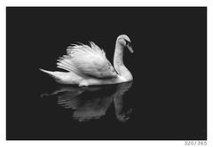 swan (Aljaž Anžič Tuna) Tags: 320 320365 365 swan bird bigbird white reflection photo365 project365 portrait portraitunlimited onephotoaday onceaday 35mm 365challenge 365project d800 dailyphoto day dof monocrome monochrome marshes bw blackandwhite black blackwhite woman beautiful bog water nikond800 nikkor nice nikkor85mm naturallight nature 85mmf18 f18 dark