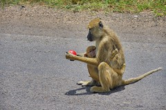the driver gave her an apple (Cybergabi) Tags: tanzania africa 2016 baboon apple mikuminationalpark road safari