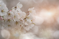 Spring is Finally in the Air! (SimplyAmy74) Tags: spring spokane exploring explorewashington pacificnorthwest washington washingtonstate blossoms blooming beautiful happiness flowers sonya7rii canonlens